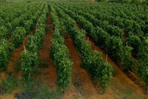 葛根怎么种植高产栽培的技术